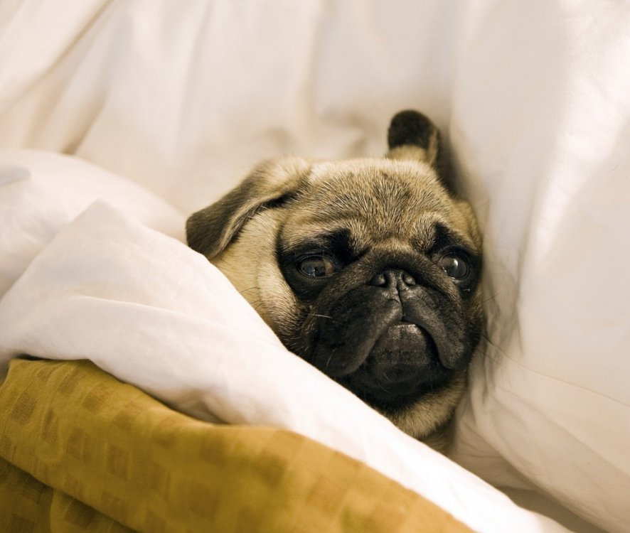 Pug_lying_in_bed_with_its_head_on_the_pillow.jpg