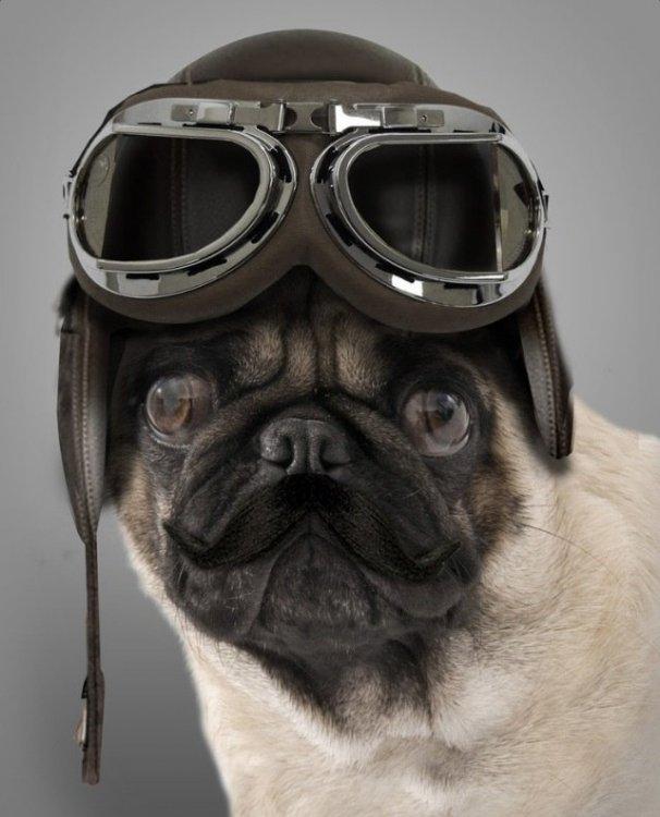 Fly Pug.jpg
