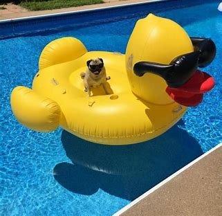 Pug and duck.jpg