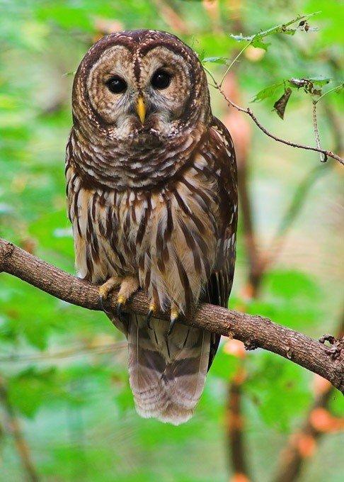 hoot owl.jpg
