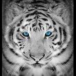 Panthera_Tigris