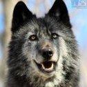 =JV44=Wolfdog